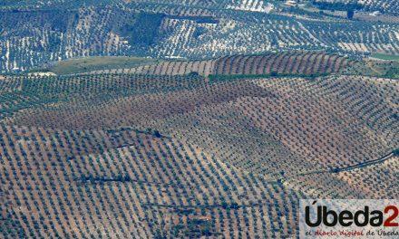 COAG-Jaén pide prudencia a los olivareros frente a las bajadas de precio injustificadas en el mercado