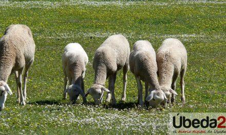 COAG Andalucía celebra mañana en Úbeda su primer encuentro del ovino extensivo